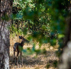 Deer through the leaves (randyherring) Tags: california park ca summer plants nature us flora afternoon unitedstates outdoor sanjose deer siliconvalley almaden recreational dryseason guadalupeoakgrovepark