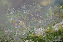 Mehrfachbelichtung (Elsbeth7) Tags: blumen rosen mehrfachbelichtung