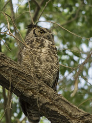 DJT_1092 (David J. Thomas) Tags: ely nevada nv travel vacation nationalspeleologicalsociety convention conference nss bird greathornedowl