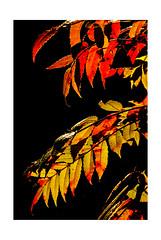 Backlit Sumac (Terry L. Olsen) Tags: detail leaves closeup backlight sumac arkansas
