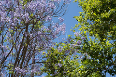 (Psinthos.Net) Tags: trees light summer sky sunlight tree leaves june airplane day blossoms bluesky valley noon planetrees treebranches tale sunnyday planetree purpletree      vrisi  psinthos purpleblossoms              psinthosvalley    vrisiarea      vrisipsinthos