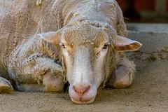 Stanley (sue2028) Tags: california portrait wool face animal losangeles vegan sheep farm ears farmanimals santaclarita farmsanctuary