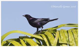 Shiny Cowbird (Molothrus bonariensis) SHCO - Shiny Mirror on the Wall... who is the Shiniest one of all?