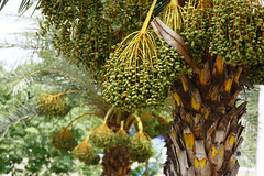 care for a date (arju16) Tags: canon palmtrees bloom dates canoneos40d desserfruits