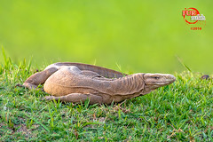 Indian Monitor Lizard (Furrukh Shah) Tags: pakistan summer green fauna nikon sigma lizard punjab pak basking 2016 hafizabad