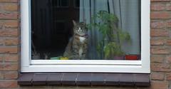 Kat achter Raam (josbert.lonnee) Tags: kat raam outdoor animal window venster plant curtain gordijn