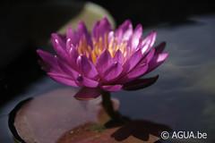 DSC_7715 (Waterlelie.be) Tags: florida floridaaquaticnurseries fortlauderdale noordamerika nymphaea nymphaeapurplefantasy nymphaeaverenigdestatenvanamerika verenigdestatenvanamerika