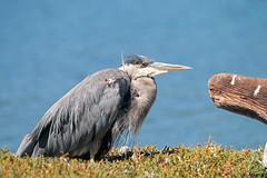Great Blue Heron (R Hardy) Tags: greatblueheron esquimaltlagoon colwood vancouverisland