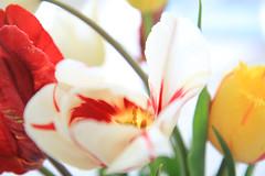 indoor (anita.niza) Tags: colours indoor mai tulpen