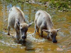 Water Buffalo - Along The Way
