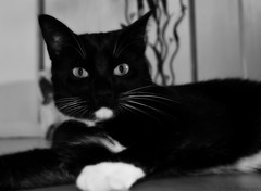 His stare into the depths of my soul.... (scares me sometimes!) :) (Captions by Nica... (Fieger Photography)) Tags: blackandwhite canada cat quebec felix catseyes tabbycat catsglare