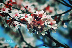 In Bloom (Hi-Fi Fotos) Tags: pink flowers red plant color tree nature spring nikon dof bokeh maroon branches blossoms plum micro bloom buds alive nikkor ornamental 105mm d5000 hallewell hififotos