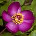 Wild Peony (Paeonia mascula) אדמונית החורש