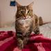 Charisma, broad-stripe brown tabby kitten