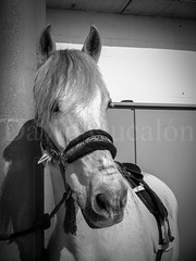 Horse (David Cucaln) Tags: blackandwhite horse david blancoynegro animal caballo cavall blancinegre 2015 cucalon