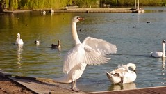 A big stretch! (Rosie Pics.) Tags: white lake bird london standing spring swan wing feathers londonpark