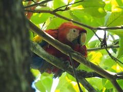 Hellroter Ara | Scarlet Macaw | Ara Macao (stefan.selle) Tags: bird nationalpark costarica corcovado ave ara vogel scarletmacaw aramacao hellroterara pájro