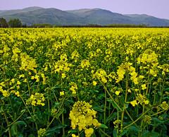 Canola Ochils (kenny barker) Tags: scotland spring rape explore april canola rapeseed ochils kennybarker