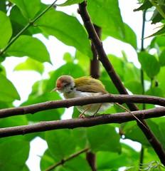 Common Tailorbird (sreejithkallethu) Tags: india nature birds kerala kollam naturephotography commontailorbird birdsofindia birdsofkerala neeravil