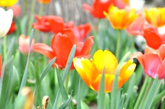 In Celebration of Mother's Day (J@photo) Tags: plant flower spring tulips outdoor depthoffield celebration flowerbed moms tulip happymothersday mothersdaymay102015