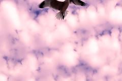 Freedom (Pauliti) Tags: summer sky espaa bird beach nature freedom purple magenta playa cielo pajaro gaviota
