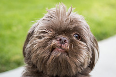 Choco Ewok (Tony Medina) Tags: dog cute green grass puppy bokeh chocolate ewokbear 1835mmsigma