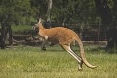 Kassidy Kangeroo (Pejasar) Tags: jump texas kangaroo hop marsupial cypressspringsranch