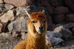 Am Titicaca-See (Markus Barthel) Tags: lake alpaca peru titicaca see alpaka