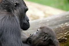 Burgers ZOO (Arnold van Wijk) Tags: netherlands animal zoo arnhem nederland dieren beesten dierentuin gelderland dierenpark beest