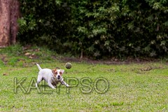 Running Jack Russell Terrier For Thrown Ball Aport (kalypsoworldphotography) Tags: dog game closeup female forest training fun freedom athletic intense dynamic angle action outdoor expression walk air joy meadow fast canine running run front terrier ear tennisball creature excitement behavior companion leap jackrussellterrier sturdy alert clever feisty tenacity intensity determination impulsive dominant instinct bossy tenacious scrappy discipline temperament alertness parsonterrier