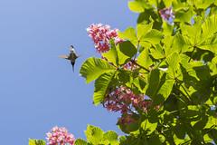 Hummingbird Skyway (aaronrhawkins) Tags: flowers sunlight tree leaf spring wings backyard hummingbird path flight fast bluesky belly chestnut nectar