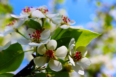 The wonderful fragrance of flowers (k.vorobyovax) Tags: travel flowers blue white green nature canon photo spring cool nice russia may followme 2016       600d    follow4follow like4like