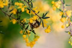 IMG_9456 (::nicolas ferrand simonnot::) Tags: b paris flower green up yellow zeiss vintage lens 50mm prime close wasp bokeh jena bee mount carl manual f18 18 praktica coated multi | 2016