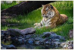 Dasha-Zoo-Duisburg-20160506-ILCE-7M2-02116 (gosammy1971) Tags: orange white black nature animal animals cat germany fur deutschland photography zoo tiere feline flickr foto tiger natur katze predator tierpark duisburg dnemark weiss dasha tigris tigre fell schwarz nordrheinwestfalen odense tier streifen pantheratigrisaltaica amurtiger pelz dierenpark panthera carnivora felidae siberiano northrhinewestfalia zooduisburg pelzig raubtiere altaica tigri sibirischer fellnase artenschutz groskatze ussuritiger iucnendangered prdator praedatio sibiarian