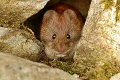 i love peanuts........ (Suzie Noble) Tags: wall garden mammal vole bankvole stonedyke strathglass struy