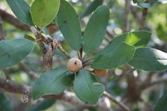Wild dilly  (Manilkara jaimiqui) (Florida Birding Trail) Tags: tree threatened