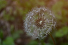 Half the wishes are gone (Irish Feng Shui) Tags: dandelion wishes