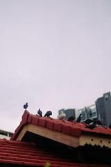 Flock of birds (bady_qb) Tags: nature animal vintage singapore fujifilm mitakon xt1 vsco