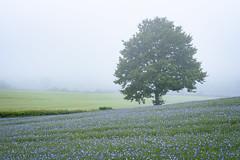 Foggy Flax (Stu Meech) Tags: tree field fog landscape nikon stu cotswolds lee d750 polarizer 70200 flax meech polariser linseed