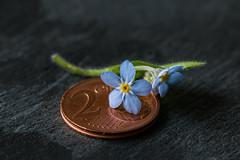 Smaller than a coin (WillemijnB) Tags: money flower macro fleur coin forgetmenot pice bloem nomeolvides munt myosotis vergeetmijnietje nontiscordardime niezapominajki muntstuk macromondays vergissmichnicht picedemonnaie smallerthanacoin