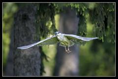 Black Crown Night Heron... (DTT67) Tags: heron nature birds canon wildlife pa nationalgeographic bif kiwanis blackcrownnightheron 14xiii canon500mmii 1dxmkii