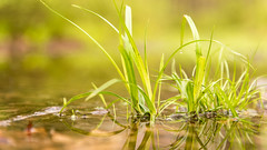 20160508 (Homemade) Tags: ny newyork water grass puddle preserve westchestercounty lewisboro waccabuc nikkor2470mmf28 nikon2470mmf28