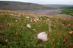 Flora of the Burren 2 (Michael Foley Photography) Tags: county ireland plants ice flora mediterranean clare glacier alpine age limestone burren clints artic climate coclare galwaybay temperate grikes grykes