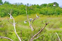 le de R 129 -  arbres morts et Sternes pierregarin dans la Rserve Naturelle de Lilleau des Niges (paspog) Tags: france island insel r le deadtrees rservenaturelle leder arbresmorts rservenaturelledelilleaudesniges