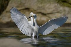Snowy Egret 6_24 1 (krisinct- Thanks for 12 Million views!) Tags: nikon g 500 f4 vr afs d500