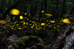 290814 (sevda.stancheva) Tags: trees light summer green nature beauty grass fairytale night forest insect landscape evening twilight scenery glow outdoor dusk wildlife relaxing bugs fairy bulgaria fantasy glowing firefly