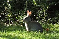 Kanin i parken (hannatornblom) Tags: park wild cute rabbit bunny green animals mammal grey nikon sweden wildlife sverige rabbits cuteness kalmar kanin kaniner nikon1 nikon1j5