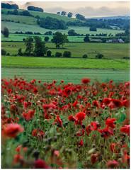 Windy Poppy Field.jpg (keety uk) Tags: stuartbennett wilts salisbury poppyfield poppy photokeetynet uk wiltshire