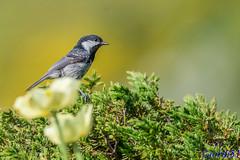 Carbonero garrapinos. Parus ater. (jordi51) Tags: naturaleza nature birds wildlife aves d600 coaltit parusater 300f4afs carbonerogarrapinos mallerengapetita tc20eiii jordi51