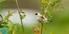 Eurasian Penduline-Tit (Remiz pendulinus)